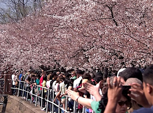 How to get around DC during the 2020 National Cherry Blossom Festival