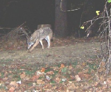 National Park Service: No coyote-wolf hybrids in D.C.