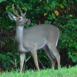 New approach to control Rock Creek Park deer population