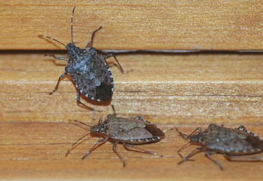 Stink bugs invade Washington