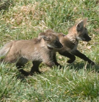 Help name the National Zoo's wolf pups
