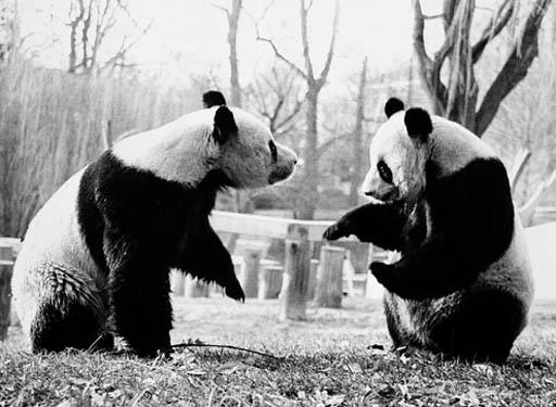 National Zoo celebrates 40 years of giant pandas