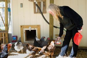 Urban chickens popular but few towns allow them