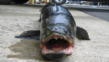 'Frankenfish' found in Potomac tributary may break world record