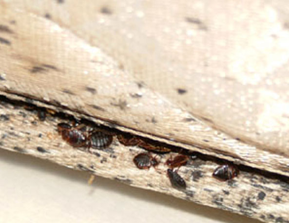Bed bugs a problem in homes, not city offices