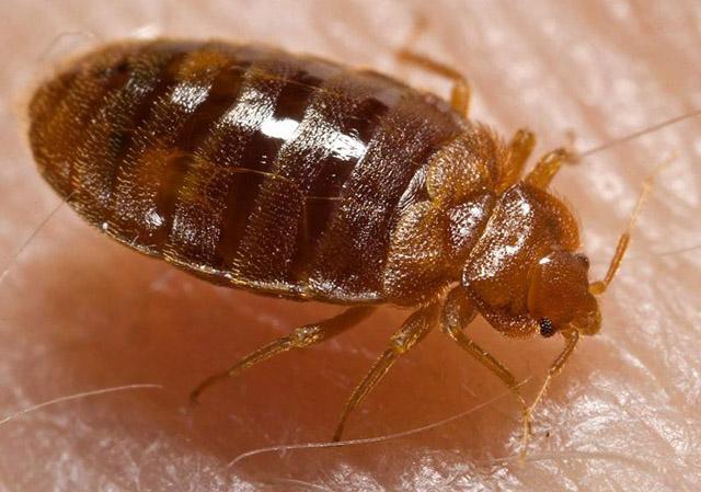 Tips to stay safe during bedbug season