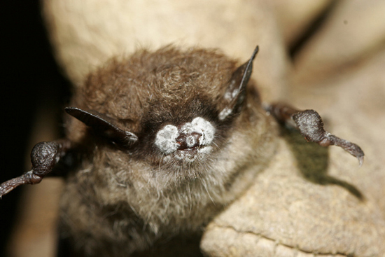 Fake bat cave to battle devastating disease