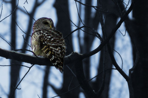 Owls attacking runners in D.C. area