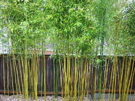 Garden Plot Bamboo lawyers and bare spots WTOP