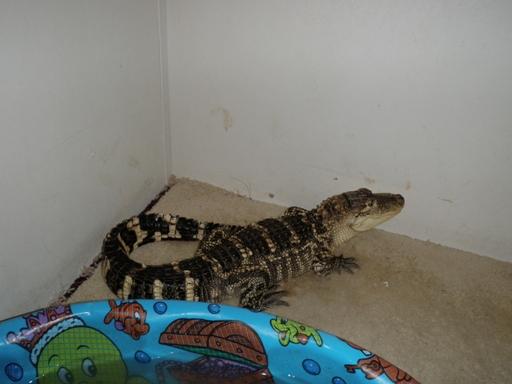 Police: Three-foot alligator found in Jessup home