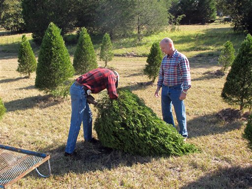 How to keep your Christmas tree healthy