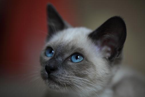 Rescue Siamese Cats Virginia