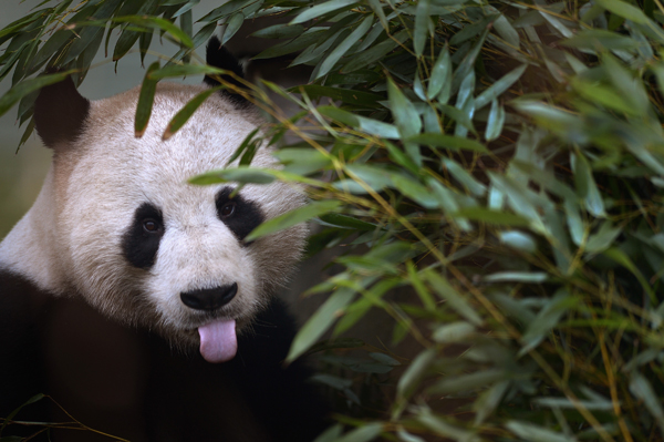 Panda listens to Marvin Gaye in hopes he'll 'get it on'