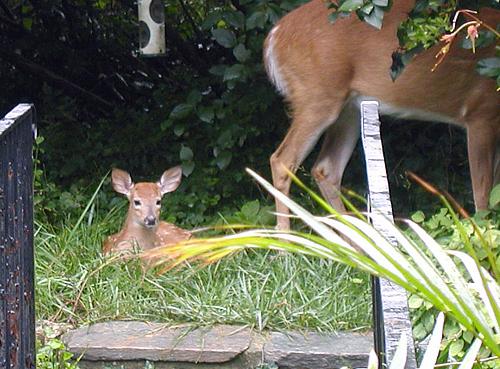 Deer Dilemma Part 2: Living near Rock Creek Park