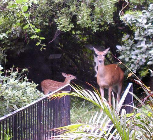 Controversial Rock Creek deer hunt begins again