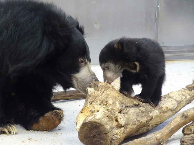 Sex of 3-month-old sloth bear is now known