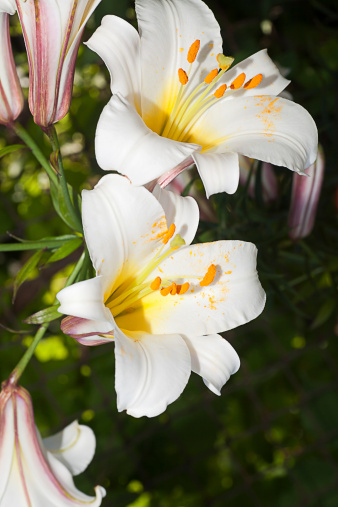 How to care for Easter lilies