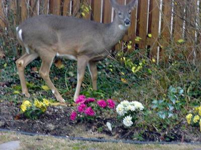 Garden Plot The Plants That Deer Might Not Eat Wtop