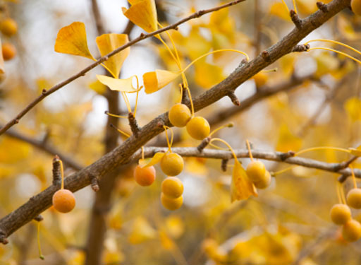 Anti-stink spraying of ginkgo trees in DC set for Monday
