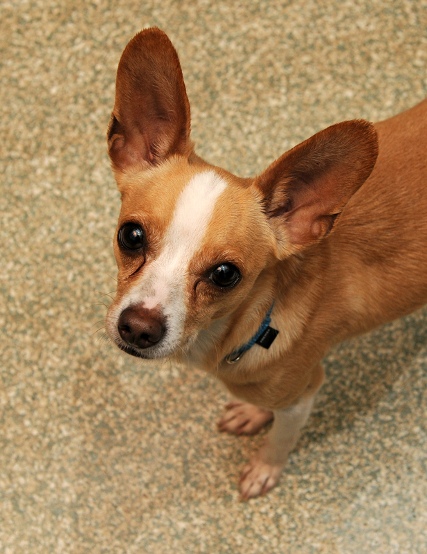 ADOPTED! Pet of the Week: Diego, Chihuahua mix