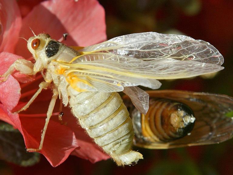 Sex-seeking cicadas begin to emerge in Southern Maryland