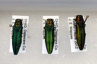 A killer beetle: How to check for signs of the emerald ash borer