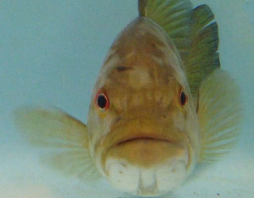 Herbicides likely source of growing intersex fish problem (Video)