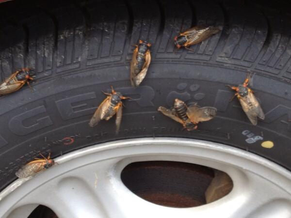 If you don't see cicadas this week, you won't (Video)