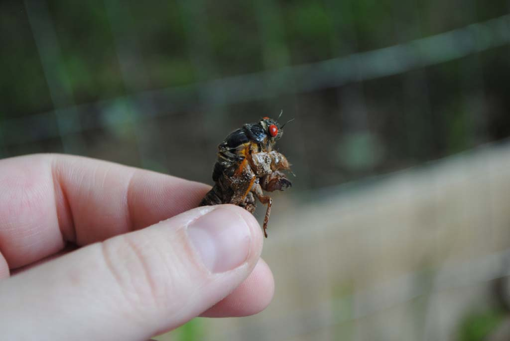 D.C. area spared from 17-year cicada invasion — for now