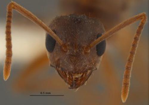 'Crazy ants' drive southeastern U.S. nuts (Video)
