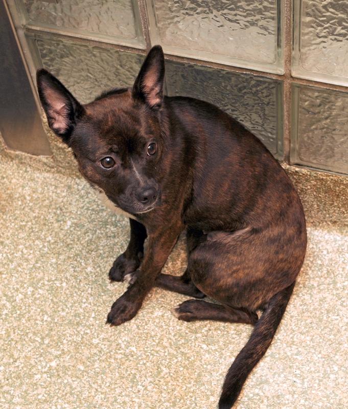 Pet of the week: Belinda, Boston terrier mix