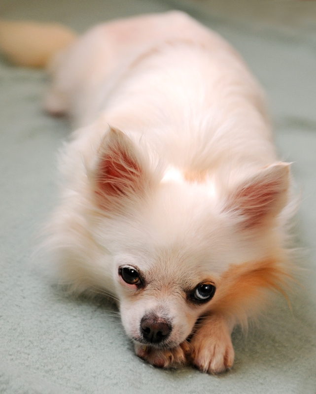 ADOPTED! Pet of the Week: Birdie, Chihuahua mix