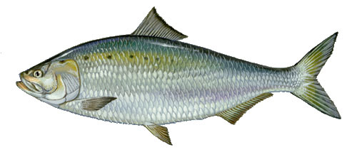 American shad coming back in potomac river wtop for Ct fish and game
