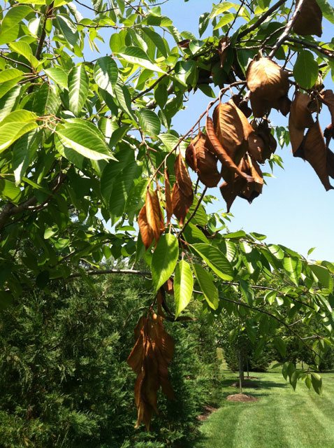 Arborists: Emerging cicadas may damage small trees