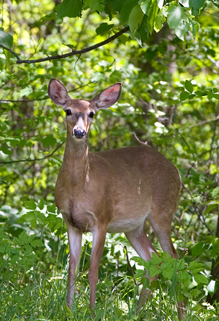 Garden Plot: Weed-eating goats, dastardly deer and terrible tree rats
