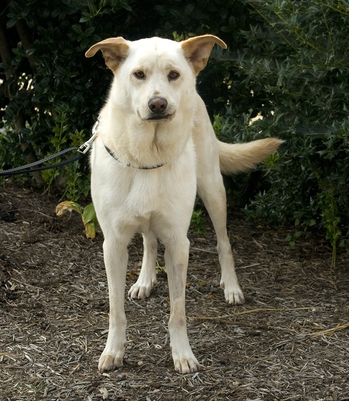 Pet of the Week: Bambi, Labrador retriever mix