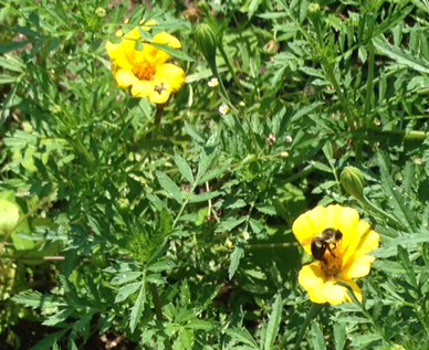 Study: Bee-friendly plants killing bees