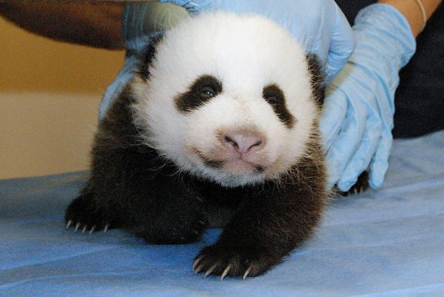 National Zoo Panda Cub: Meet Bao Bao