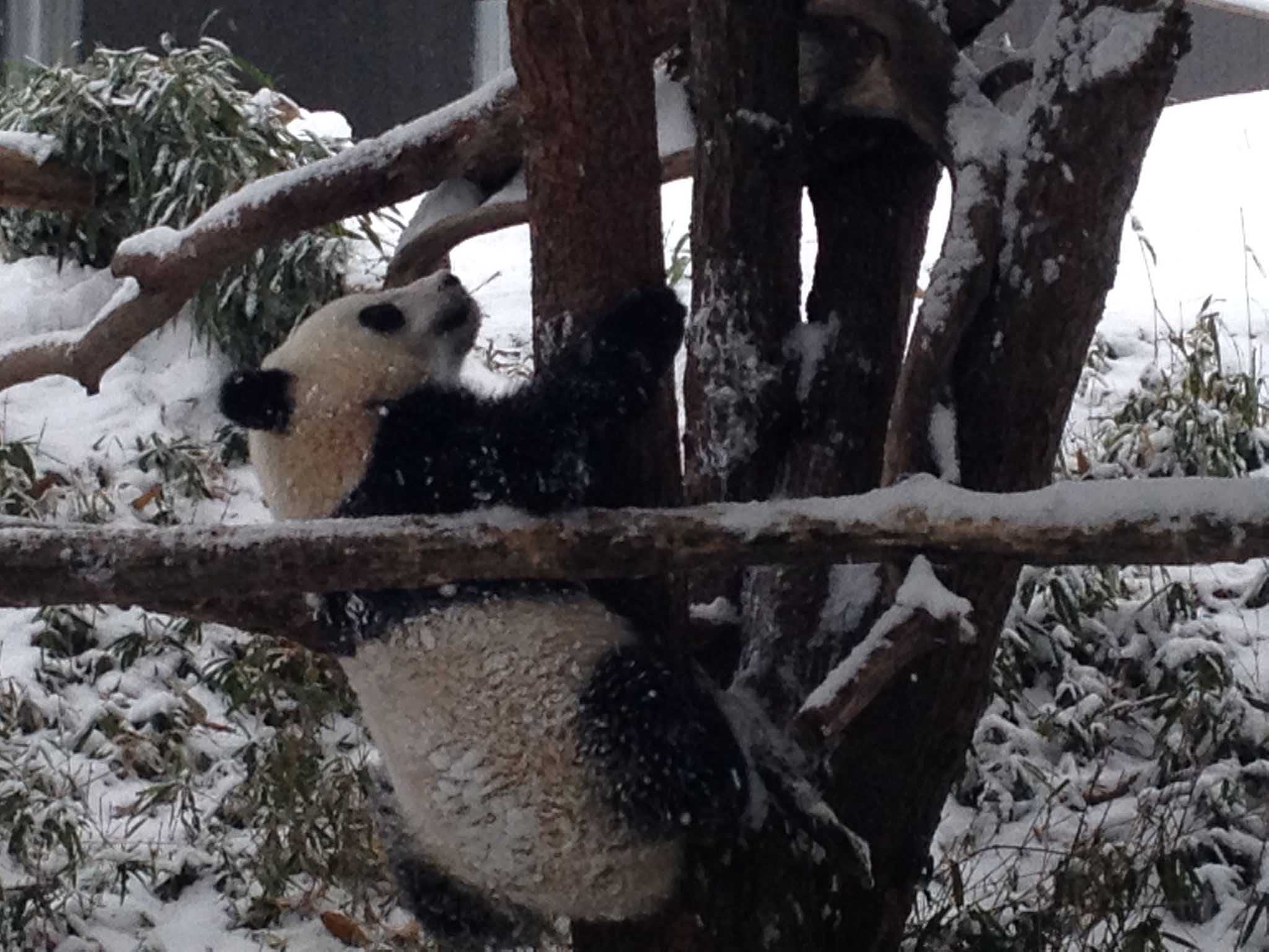Bao Bao adjusts to ice, new home away from mom