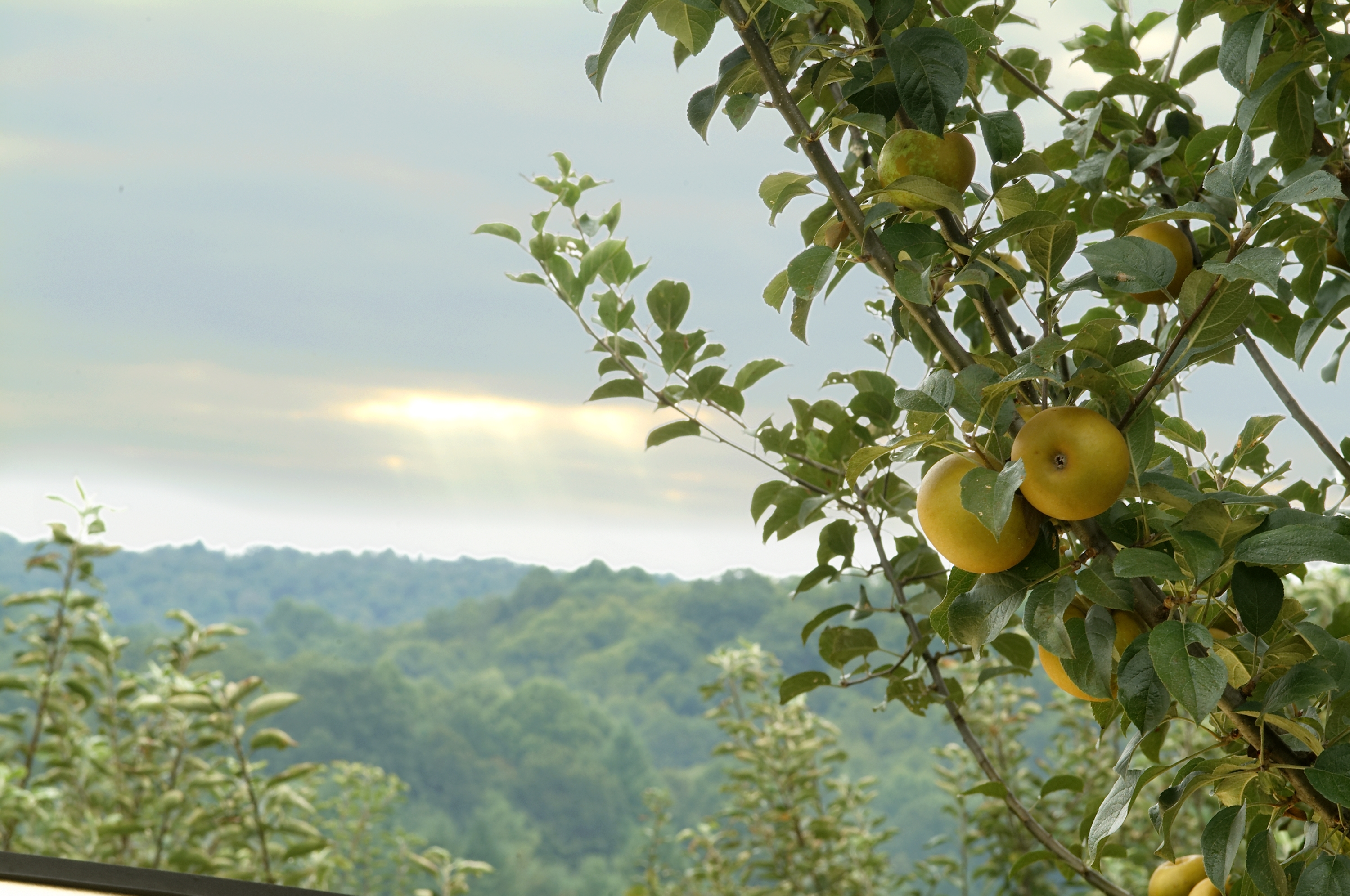 Hard cider orchards: Virginia's other wine country