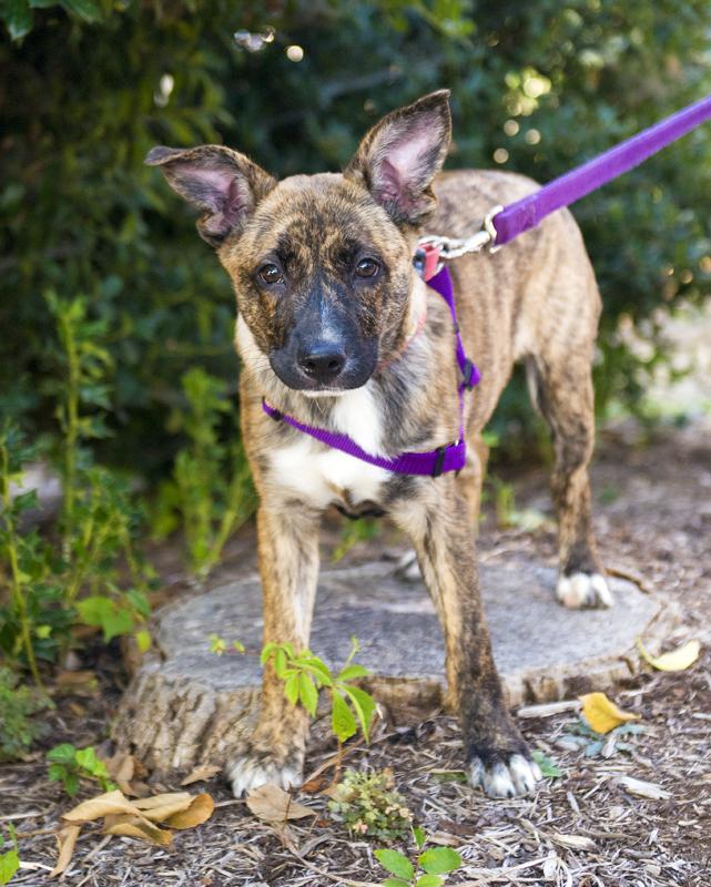 Pet of the Week: Anika, shepherd mix puppy