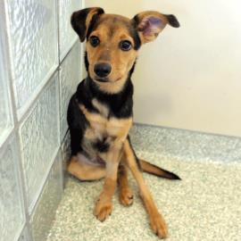 Pet of the Week: Rose Morgan, hound mix puppy