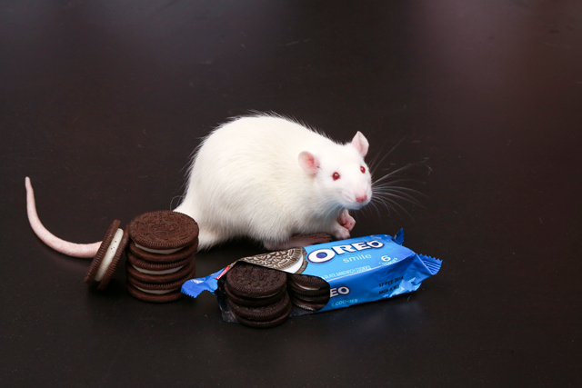 Study: Oreos as addictive as cocaine in lab rats (Video)