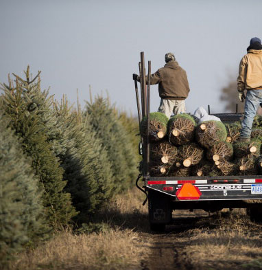 Garden Plot: Essential tips for picking, keeping a healthy Christmas tree
