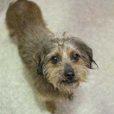 Pet of the Week: Chive, Cairn terrier mix