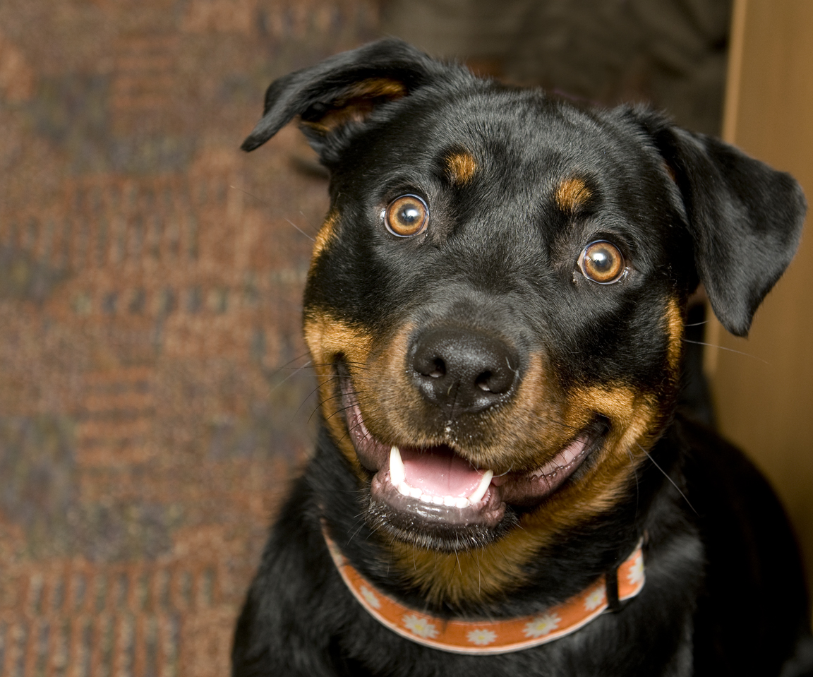 Pet of the Week: Diva, the pretty Rottweiler mix