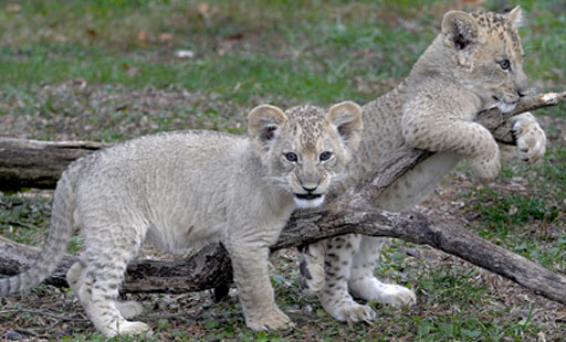 Maryland Zoo visitors name lion cubs Luke and Leia