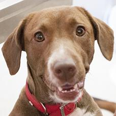 Pet of the Week: Candy, a sweet little Lab mix