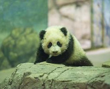 Panda cub Bao Bao debuts in extended hours at National Zoo