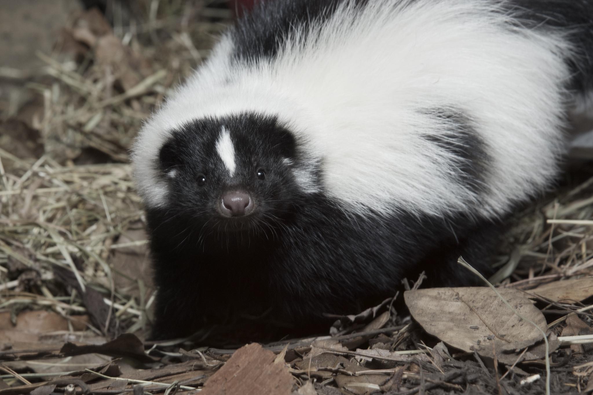 Fairfax Co. issues alert after rabid skunk, raccoon attacks